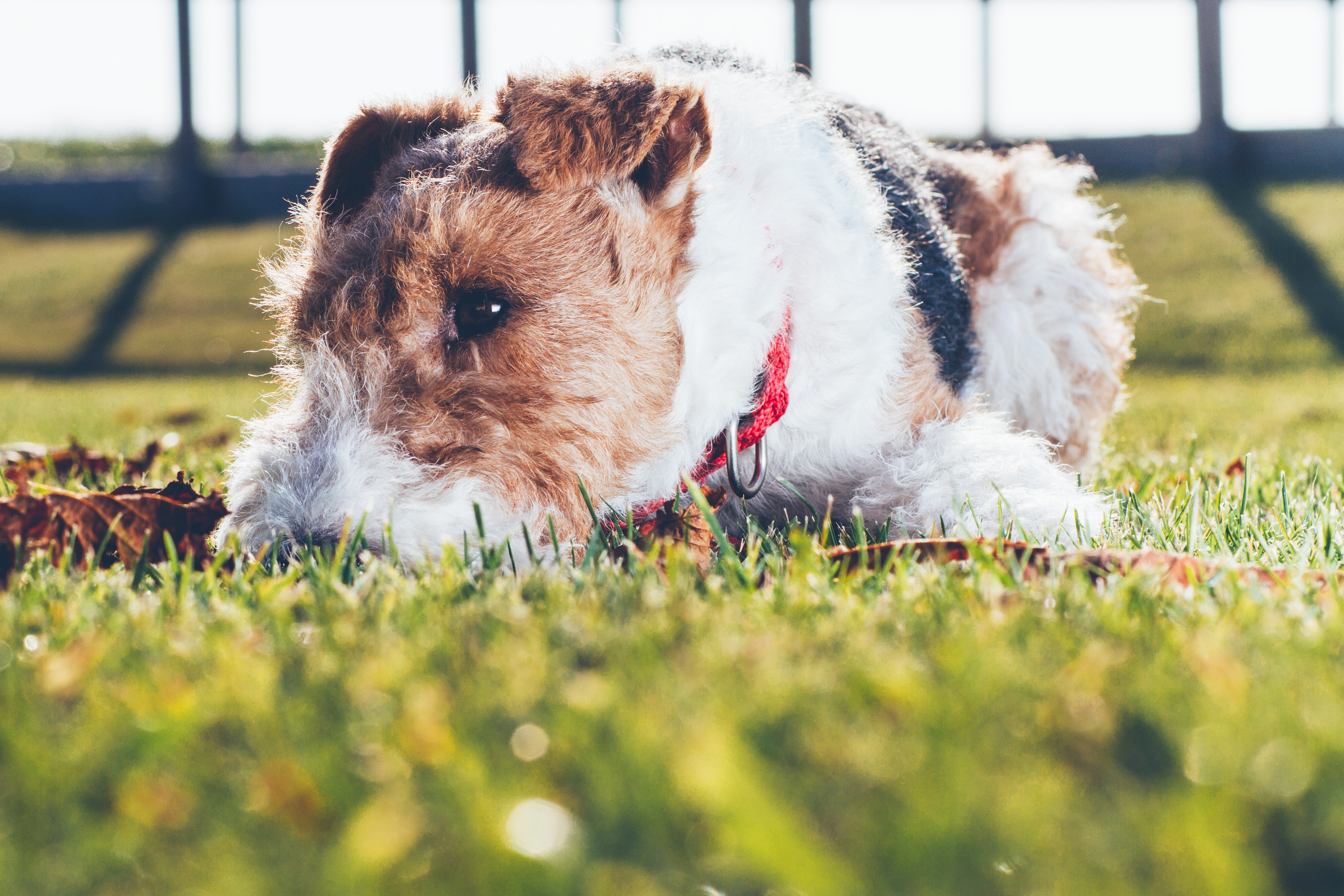 Andrea_Berlin_Chili_Foxterrier-8115